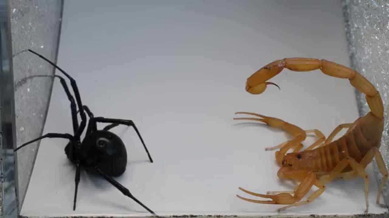 Scorpion Vs  Spider Who do you think will win?