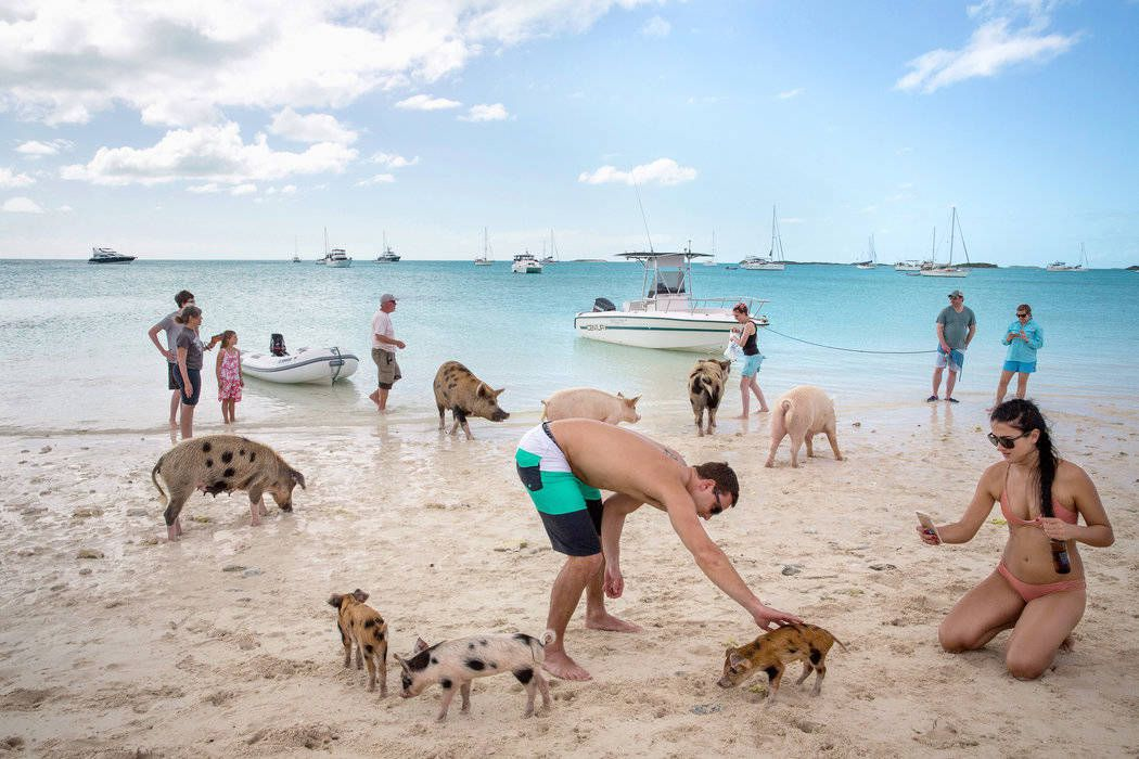 There Is An Island In The Bahamas Where Pigs Are Waiting For