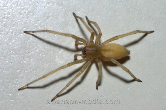 Of the world s most poisonous spiders and where you can find