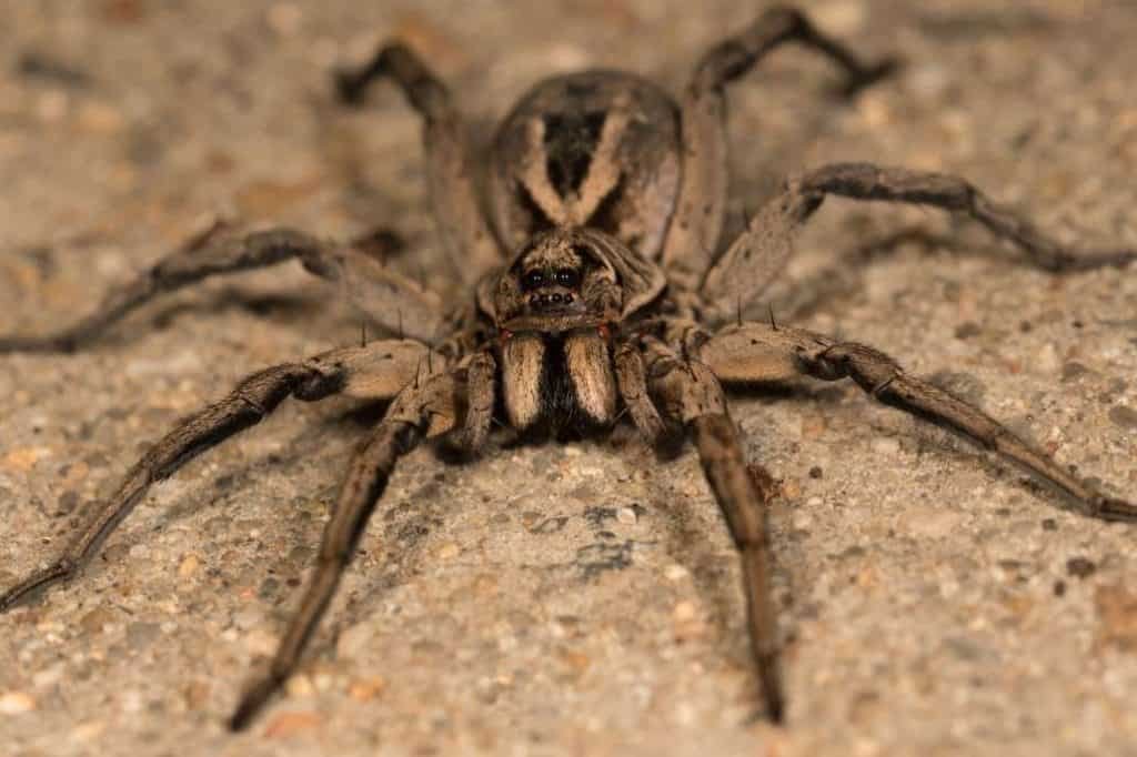 worlds  poisonous spiders