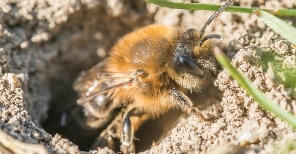 Bees In Your Garden Ground Bees Bumble Bees And